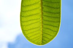 A part of green leaf with blue sky. A part of green leaf with clear blue sky Stock Image