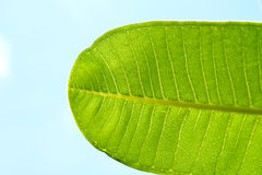 A part of green leaf with blue sky. A part of green leaf with clear blue sky Royalty Free Stock Photos