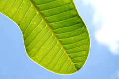 A part of green spot leaf with blue sky. A part of green spot leaf with clear blue sky Stock Photos