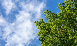 Part of green tree beneath blue sky with few clouds background. Copy space, under view of the plant. royalty free stock images