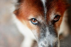 Part of a head of brown and white Bang Kaew - Thai dog Stock Photography
