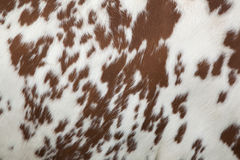 Part of hide of red and white cow. Part of the pattern on hide of red and white cow Stock Photos