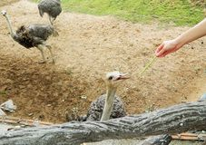 Man feeds an ostrich. Part of the human body, the hand feeds the ostrich pod with a string of beans Royalty Free Stock Photos