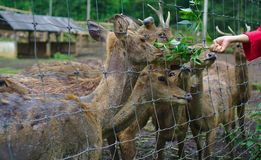 Deers being fed with plants. Part human hand feeding deers in cage with plants stock photography