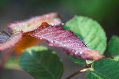 Part of the leaf rose with drops of dew. Royalty Free Stock Photography