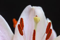 Part of Light Pink Lily Blossom. In bouquet isolated on black background. Macro photography royalty free stock image