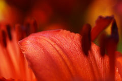 Part of a lily. Orange Stock Images