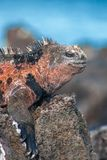 Part of a male marine iguana on Floreana, Galapagos, Ecuador. Part of a sunbathing male marine iguana on Floreana, Galapagos, Ecuador royalty free stock photo
