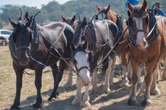 Draft Horses standing patiently