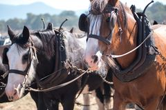 Draft Horses standing patiently stock photography