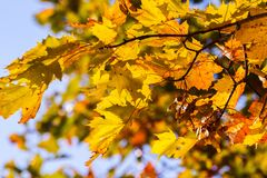 Part maple tree branches with yellow autumn leaves. In the background blue sky, october, sunny evening, with colorful leaves on a branch, beautiful, sunny Royalty Free Stock Image