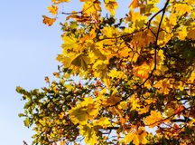 Part maple tree branches with yellow autumn leaves. In the background blue sky, october, sunny evening, with colorful leaves on a branch, beautiful, sunny Stock Photo