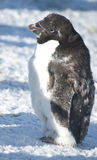 Part of moulting Adelie penguin. Part of moulting Adelie penguins on a sunny day Royalty Free Stock Photography