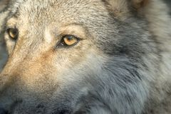 Part muzzle of a gray wolf closeup Royalty Free Stock Photography