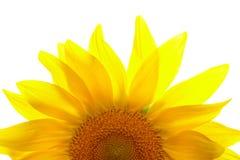 Part Of Sunflower Stock Photo