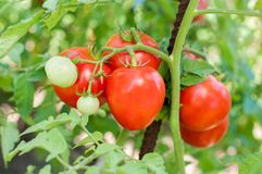 Free Part Of Tomato Plant Stock Images - 104537614