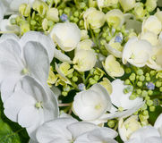 Part of only one Hydrangea flower Stock Photos