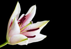 Part opened pink and white lily flower Stock Photos