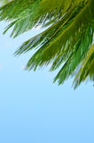 Part of palm tree on blue background. Part of palm tree on summer blue background Stock Image