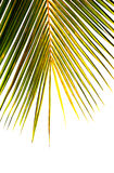 Part of palm tree on white background stock image