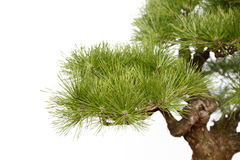 Part of Pine bonsai on white Royalty Free Stock Image