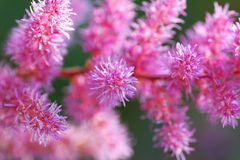 Part of pink flower blossoms. Macro Royalty Free Stock Image