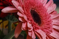 Part of pink Gerbera flower head. Close up Royalty Free Stock Images