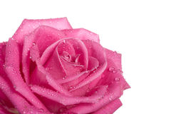Part of pink rose with water drops Royalty Free Stock Images