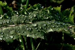 Part of poppy (Papaver Somniferum) leaf with drops of water Stock Images