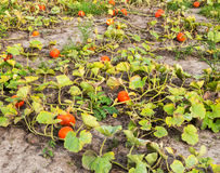 Part of a pumpkin field just before harvesting Stock Photography