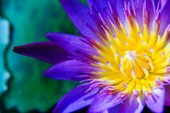 Part of purple Lotus Water Lilly pollen. Flower blooming Stock Photos