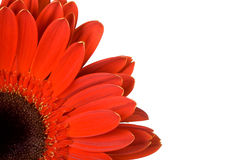 Part of red gerbera with blank place for your text royalty free stock image