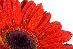 Part of red gerbera with drops of water Stock Photography