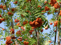 Part of rowan tree with bushes of berries. Warm red and orange shades. Sorbus aucuparia, more commonly called rowan and mountain-ash. Sunny summer day royalty free stock photos