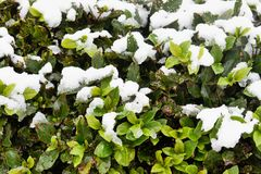 Snow on plant leaves Royalty Free Stock Photography