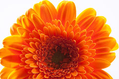Part of single gerbera flower on white background macro Royalty Free Stock Photo