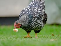 Adult Wynadotte hen seen eating bread in  a garden. Part of a small flock of chickens and bantams, the hen has been tagged and is seen eating some bread feed by Royalty Free Stock Photos