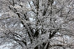 Part of a snow-covered oak. Stock Photo