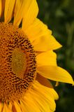 Part of a sunflower. Only the half of the blossom Stock Photography