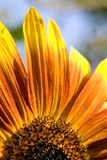 Part of sunflower. Royalty Free Stock Image