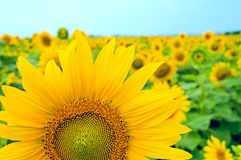 Part of sunflower Royalty Free Stock Photo