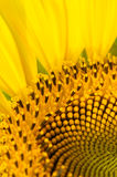 Part of sunflower Stock Image