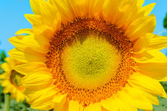 Part of sunflower Royalty Free Stock Photography