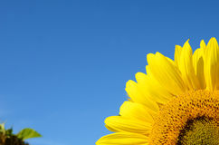 Part sunflower close up against the blue sky (natural background Stock Photos