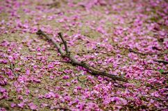 A part of a tree branch over the ground covered by a number of violet blossoming Cercis siliquastrum petals. During spring season Royalty Free Stock Photos