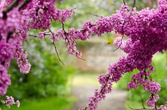A part of a tree branch over the ground covered by a number of violet blossoming Cercis siliquastrum petals. During spring season Stock Image