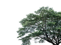 Part of tree with green leaves. Isolated on white background Stock Image