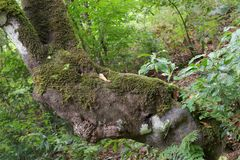 Part of tree trunk covered by moss. Ribeiro Frio hiking trails on Portuguese island of Madeira stock photography