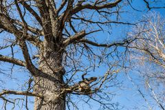 Part of the trunk and branches of dry oak tree against the blue sky, abstract background. Part of the trunk and branches of dry oak tree against the blue sky Stock Images