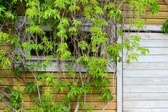 Part of the wall with green ivy. Royalty Free Stock Photo